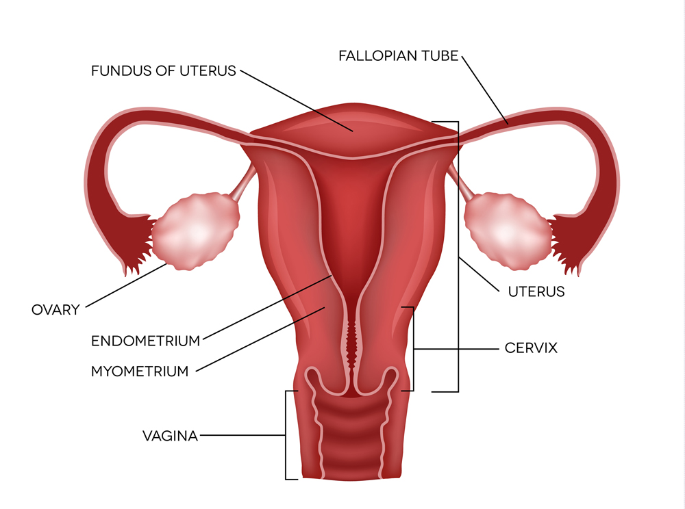 Uterus and ovaries