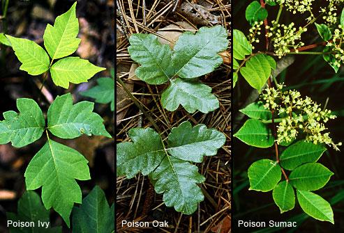 princ_rm_photo_of_poison_ivy_oak_and_sumac